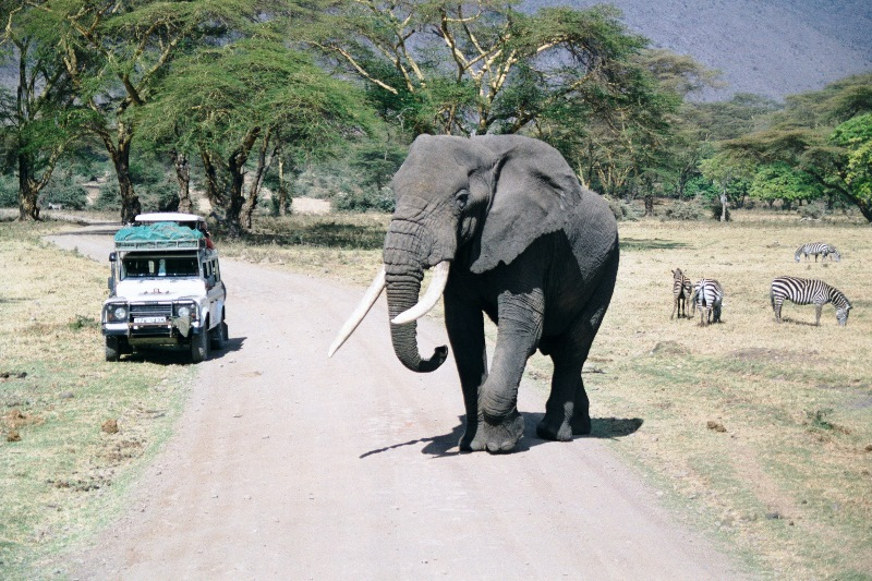 The largest land mammal : An African bull elephant