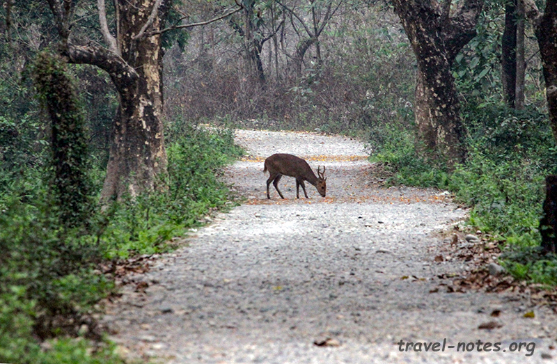 Indian Hog Deer, Manas National Park