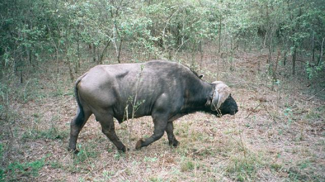 A wild buffalo in Nairobi National Park